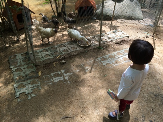 The girl spent quite a bit of time looking at the ducks and chickens.